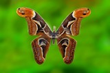 attacus atlas moth specimen in the cabinets poster