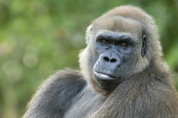 Close-up of a gorilla
