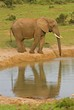 A quiet time in the African Bush when the elephant drinks