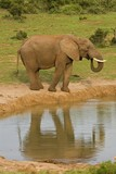 Elephants have to drink lots of water every day