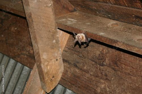 Leinwandbild Motiv Townsend's Big-eared Bat