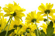 Yellow marguerites
