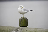 Seagull on a Stump 2 poster