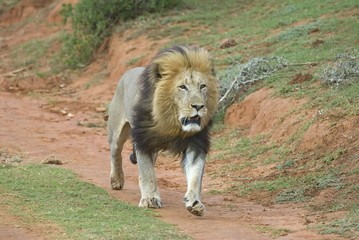 A Lion ready for battle as he searches for a rival male