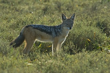 Even though Jackals are nocturnal, many are found in Daytime