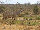 Surely the most beautiful of all African Antelope the Kudu