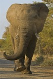A Full Blooded Charge by an Angry African Elephant is terrifying