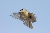 Tufted Titmouse (baeolophus bicolor) In Flight poster