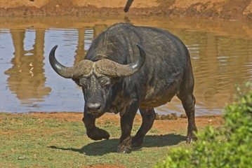 The Buffalo Bull is a very dangerous animal