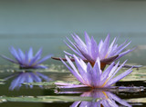 Three flowers of lotus