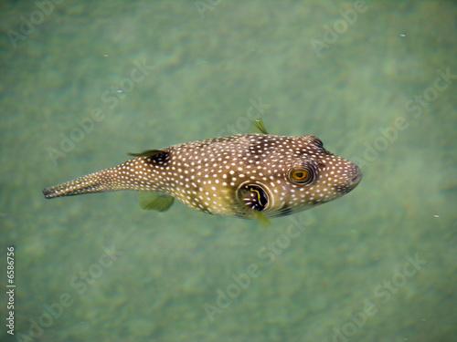 Leinwandbild Motiv brauner Kugelfisch