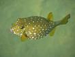 Leinwanddruck Bild gelber Kugelfisch