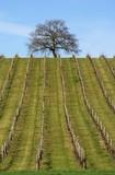 arbre surplombant la vigne