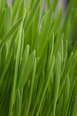 Young juicy green grass, vertically