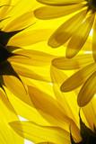 Fototapeta słonecznik - kwiat - Kwiat