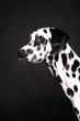 dalmatiner hund  schnauze schlappohr schwarz weiß