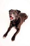 hund köter braun kampfhund poster