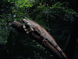 leguan reptil baum dschungel poster