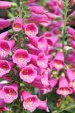 Digitalis purpurea in an herbal garden poster