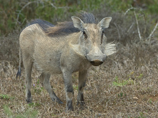 a Warthog looks all white after it had been rolling in the dust