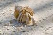 Amusing hermit crab