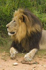 The top Male Lion in South Africa