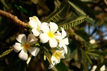 fleurs de frangipanier, senteur et serenite