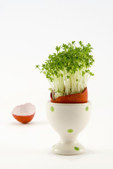 the egg with growing cress