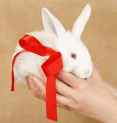 albino rabbit present