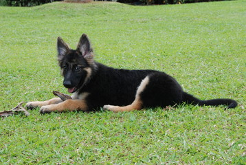 German Shepherd Puppy at 3 months