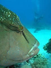Napoleonfish and divers