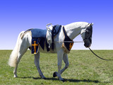 Horse with Vaulting Saddle poster