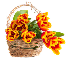 tulip in basket isolated on white