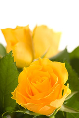 Bouquet of yellow roses isolated on white background