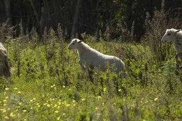 pecore 7