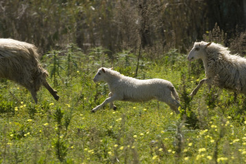 pecore 6