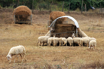 Sheep in Umbria 4