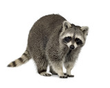 Fototapety raccoon (9 months) -  Procyon lotor