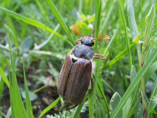The may-bug on a green spring grass