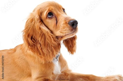 poster of Cocker Spaniel Puppy