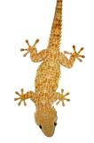 Nocturnal house gecko reptile lizard poster