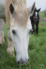 percheron broutant