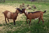 goats in farm/ field poster