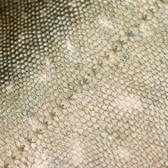 Fish scales texture #1