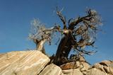 Gnarly Tree, Jousha Tree National Park poster