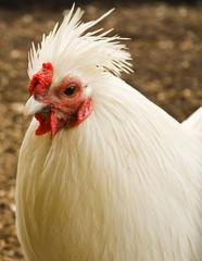 Chicken head