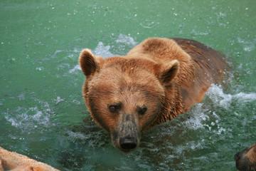 Brown bear splashing in the water