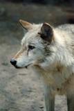 Fototapeta zwierzę - futro - Dziki Ssak