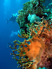 Coral  and divers