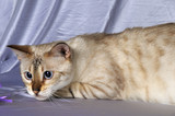 Portrait of snow bengal cat staring at side poster